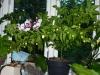 Vivi\'s White - færdigudvokset plante