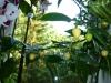 Vivi\'s White - frugter på vej