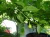 Vivi\'s White (not Jellybean) - flittig med blomsterne