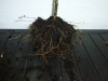 Nedpotning - før nedpotning rødderne er beskåret 2