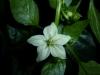 Palmichal Negro (Cacho Negro) - blomst-2