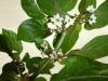 Peach Gum Tiger - blomst 4
