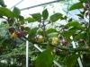 Peach Gum Tiger - små nye frugter