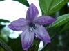 Peruvian Purple - blomst 2
