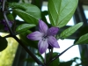 Peruvian Purple - blomst