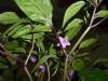 Peruvian Purple - blomster