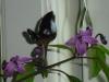 Peruvian Purple - en lille mutant