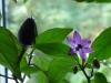 Peruvian Purple - fin frugt 2