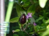 Peruvian Purple - fin frugt