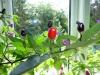 Peruvian Purple - frugter 2