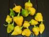 PI 257176 - frugter