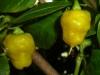 PI 257176 - modne frugter