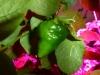 PI 257176 - umoden frugt
