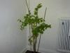 PI 257176 - voksen plante