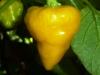 PI 257176 - moden frugt
