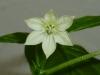 Pimiento Chorizero - blomst 2