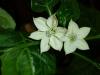 Pimiento Chorizero - blomster