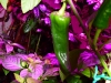 Pimiento Chorizero - umoden frugt 2