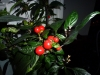 Royal Black - de første modne frugter