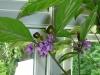 Royal Black - umoden frugt og blomster
