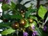 Royal Black - umodne frugter