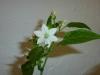 Sarit Gat - blomst