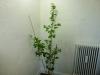Scotch Bonnet Safi - udvokset plante
