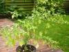 Snow White - voksen plante 2