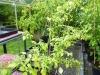 Snow White - voksen plante