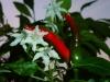 Takanotsume - blomster og frugter
