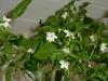Takanotsume - blomster