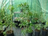 Takanotsume - klar til høst