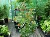 Takanotsume - voksen plante 2
