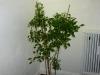 Takanotsume - voksen plante