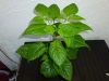 Trinidad Scorpion Morouga Chocolate - 12 uger
