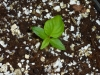 Trinidad Scorpion Morouga Chocolate - 3 uger