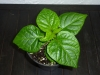 Trinidad Scorpion Morouga Chocolate - 6 uger