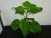 Trinidad Scorpion Morouga Chocolate - 9 uger