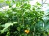 Trinidad Scorpion Morouga Yellow - mange frugter på vej 2