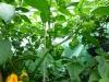 Trinidad Scorpion Morouga Yellow - mange frugter på vej