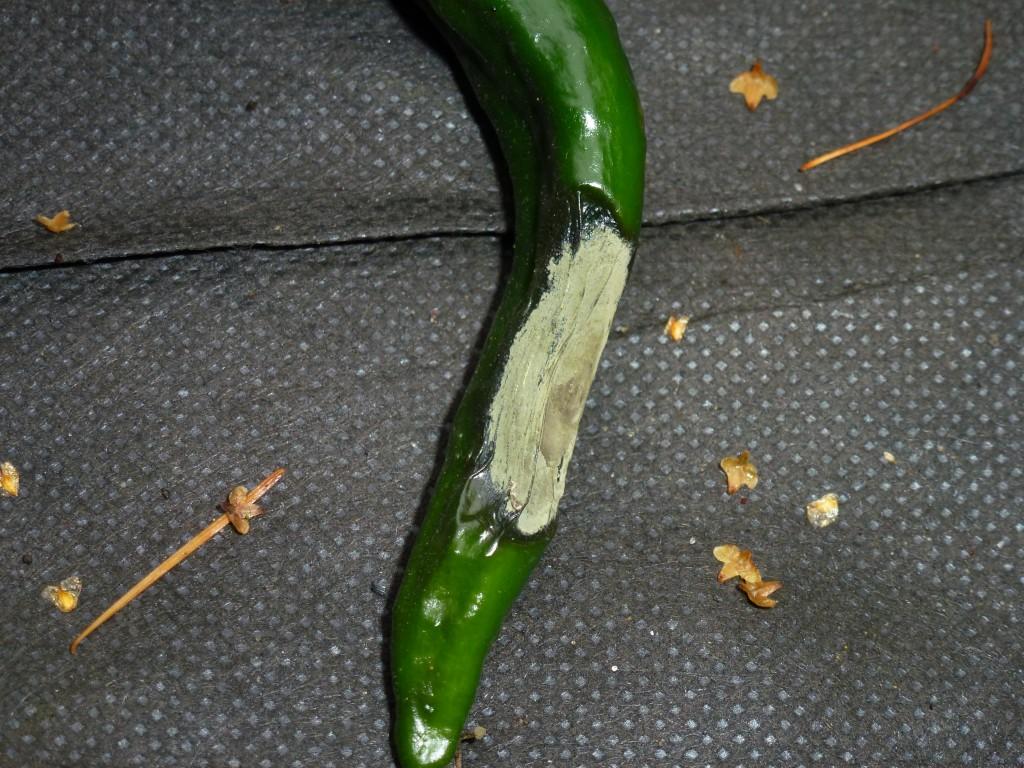 Griffelråd på Chilaca frugt