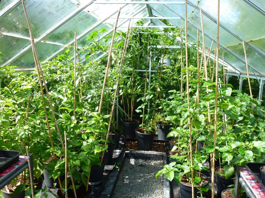 Tomater i drivhus hvornår