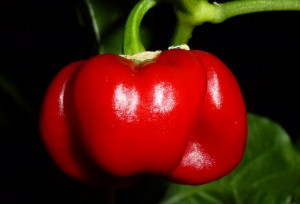 Scotch Bonnet Safi - moden frugt