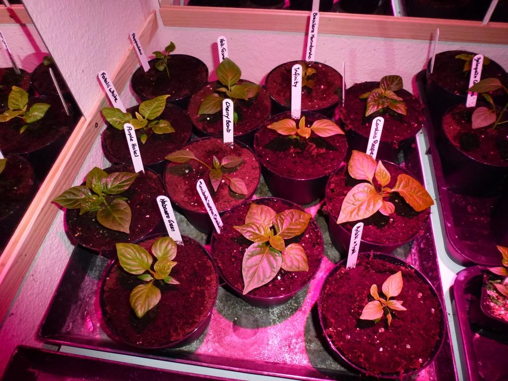 Små planter