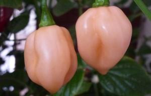Habanero Pastel