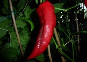 Pimiento Chorizero - moden frugt
