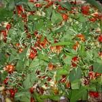 Porchetta med chili og andet fyld - krydderurterne drysses på