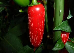 Jalapeno Goliath - moden frugt
