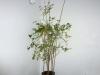Nedpotning - planten før nedpotning